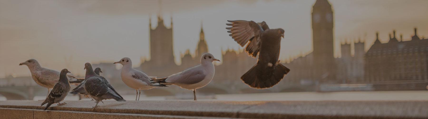 London Pigeons- Elephant Minds